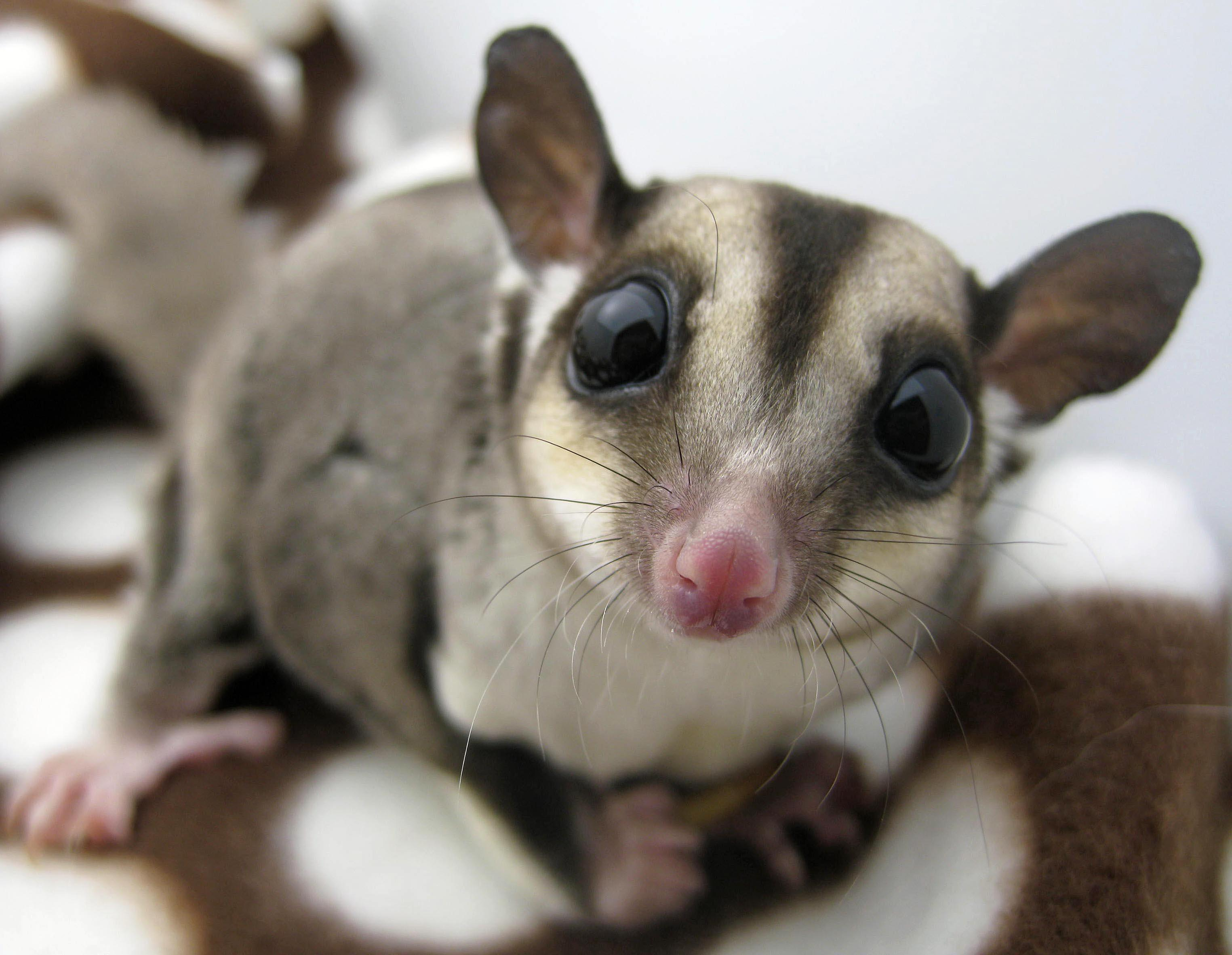 LPC Sugar Gliders: Sounds
