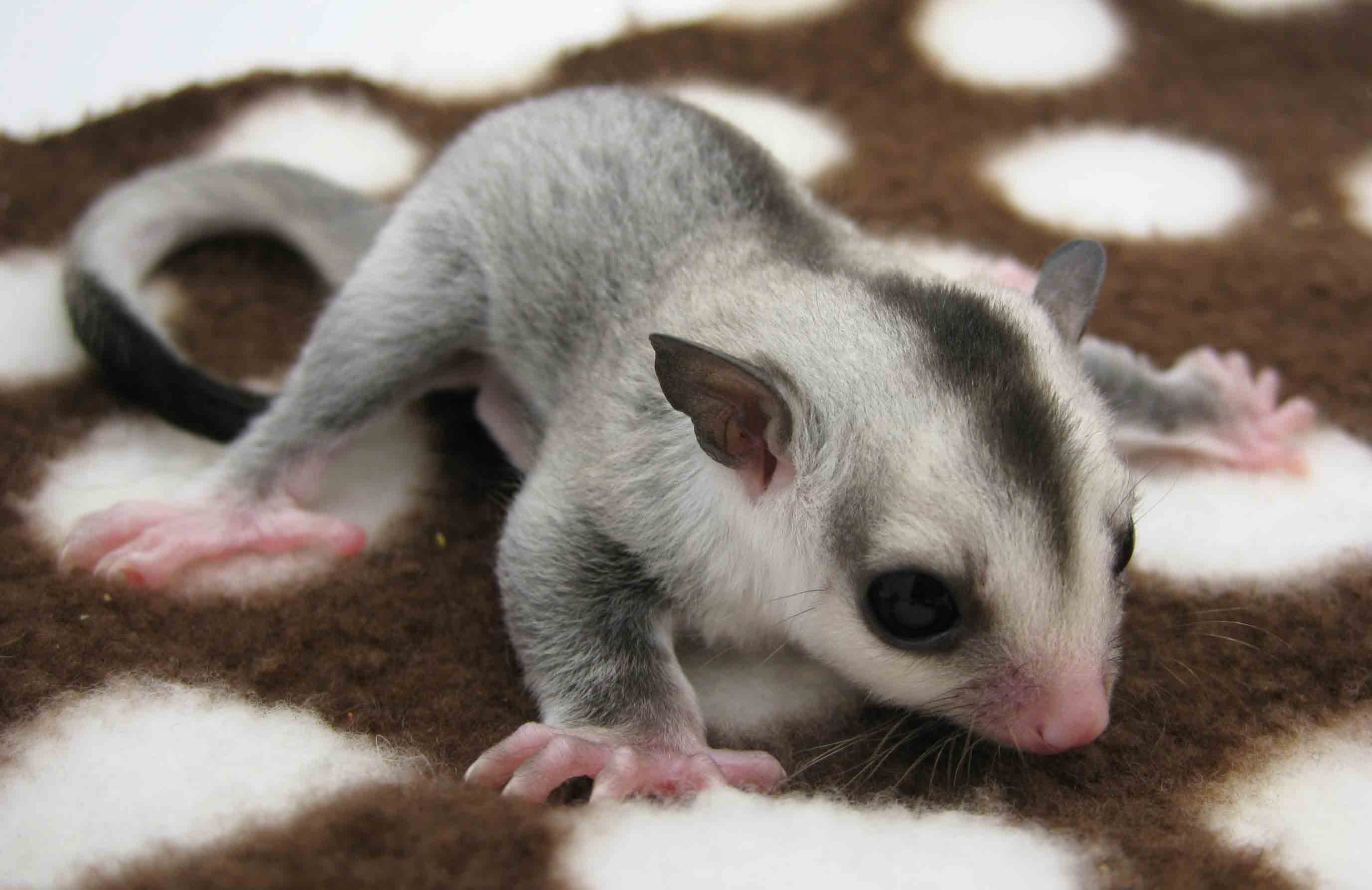 Available Joeys Sugar Gliders And Everything About Them